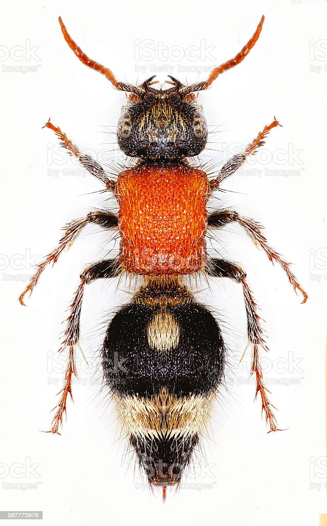 Velvet Ant Nemka on white Background stock photo