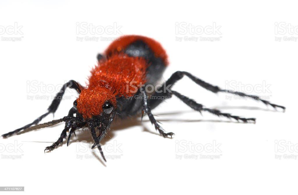 Velvet ant wasp isolated on white stock photo