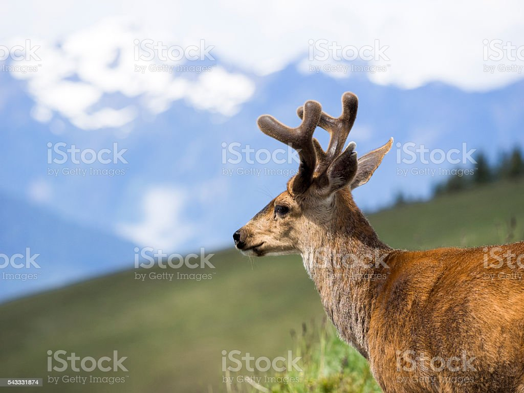 Velvet Forked Horn Buck Deer Washington State Olympic National Park stock photo