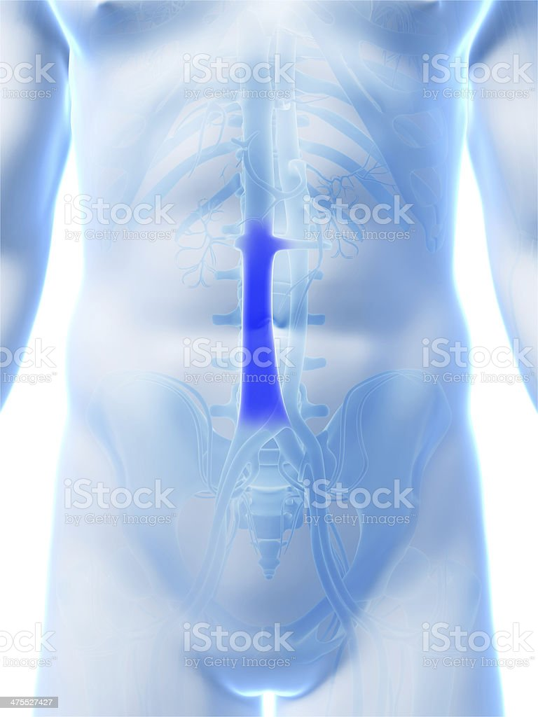 vena cava stock photo