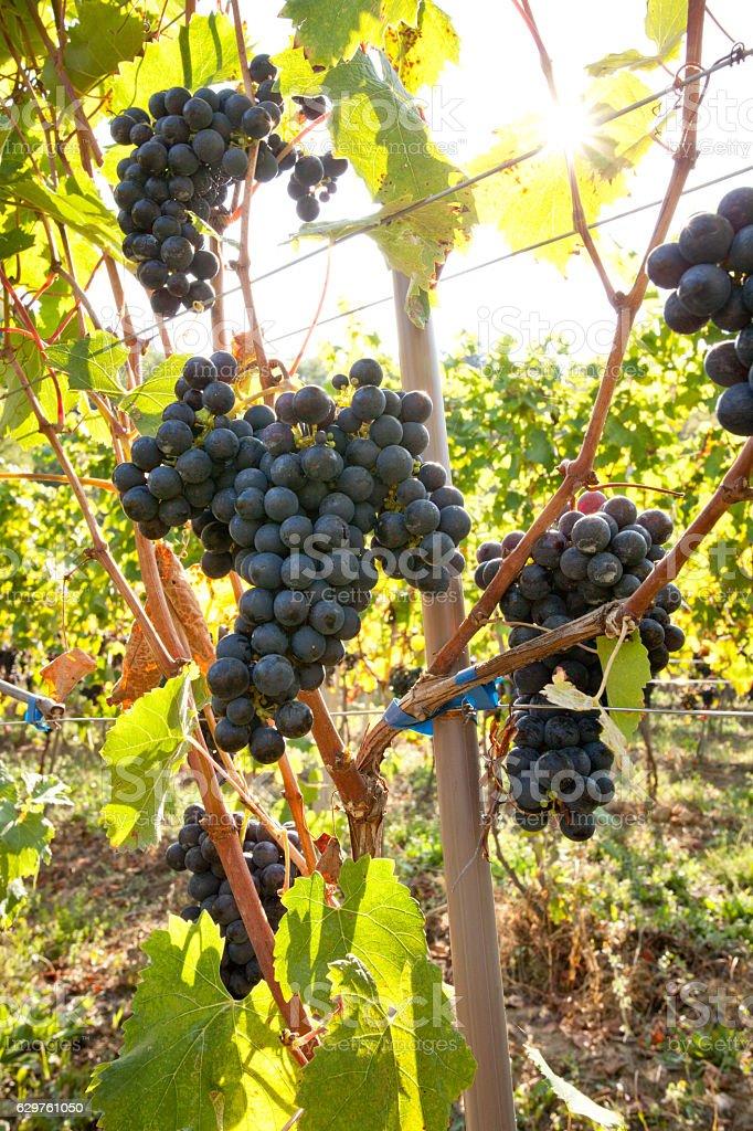 Vendemmia Raccolto dell'uva stock photo