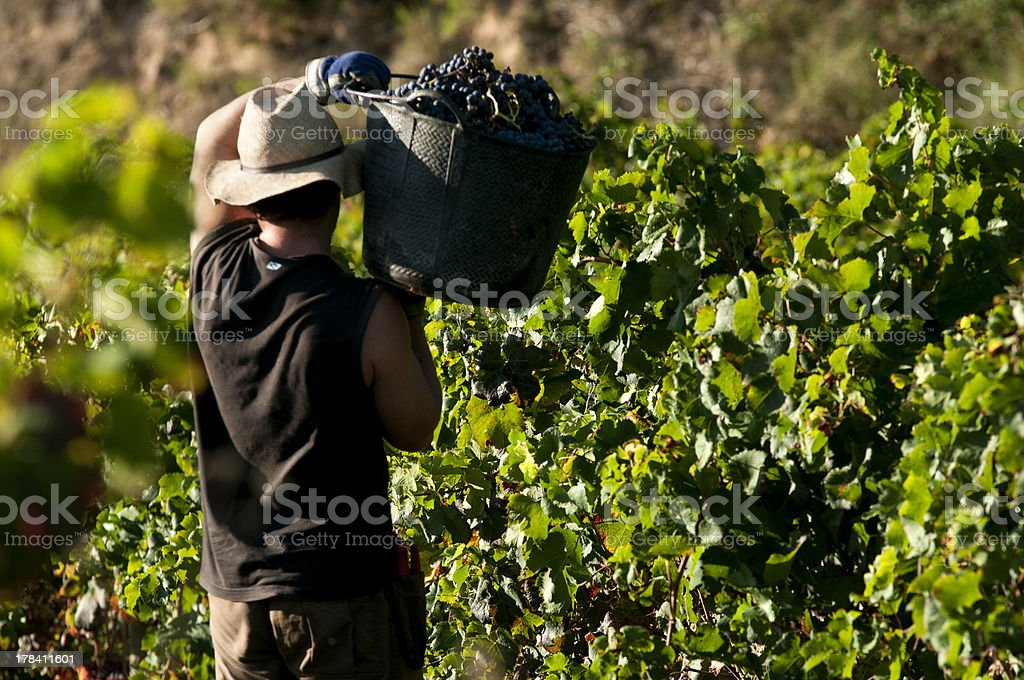 Vendimia manual de uvas tintas stock photo