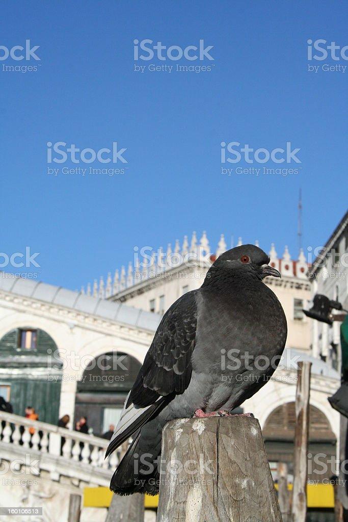 Venetian pigeon royalty-free stock photo