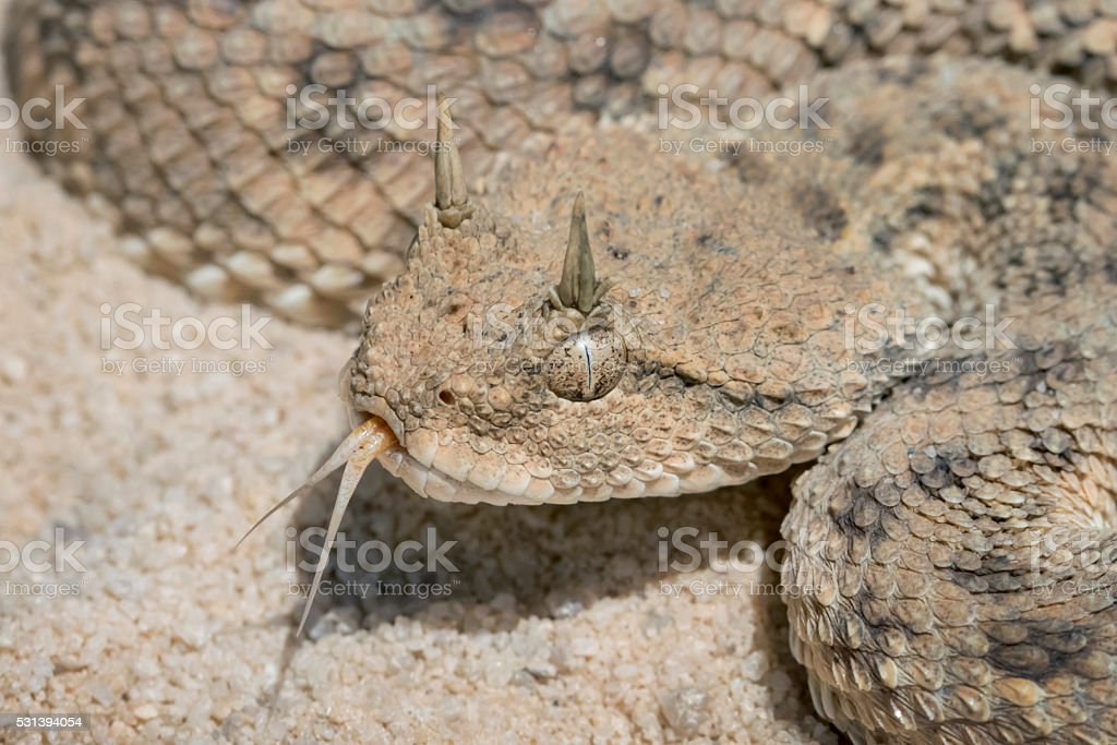 Venomous African Horned Viper with Forked Tongue stock photo