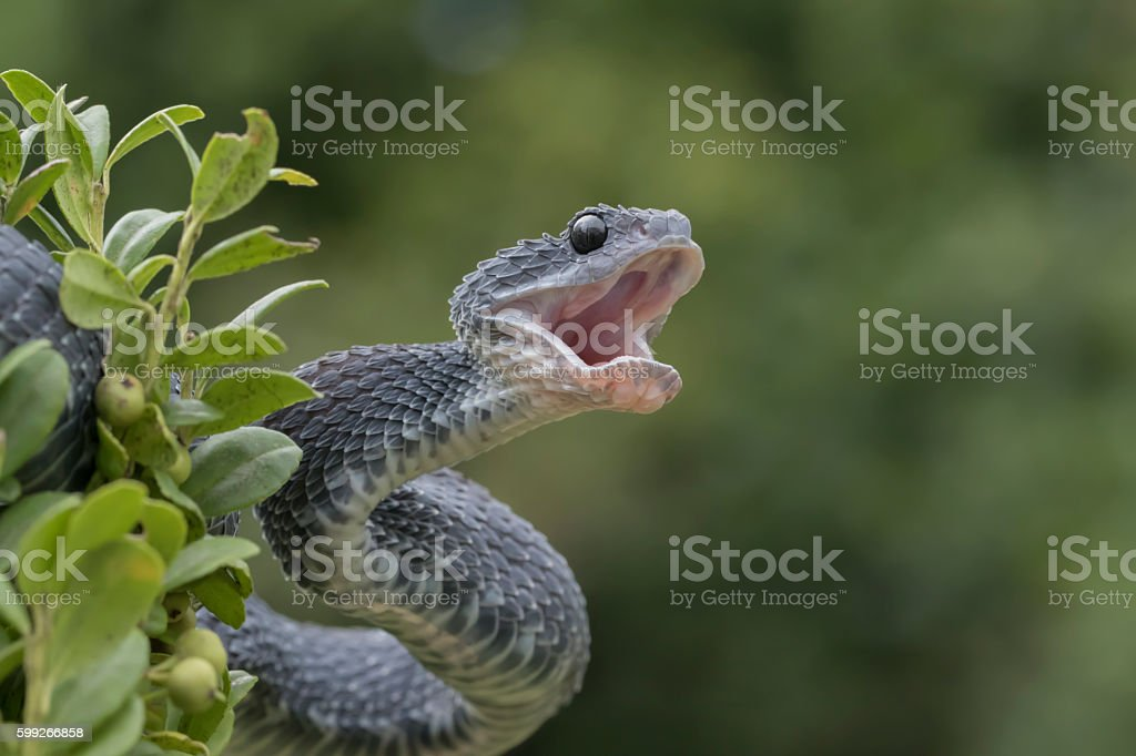Venomous Black Bush Viper Snake in Tree with Mouth Open stock photo