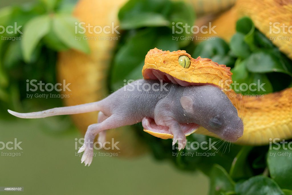 Venomous Bush Viper Snake Eating Rodent stock photo
