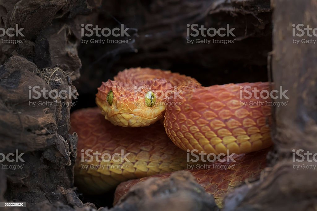Venomous Bush Viper Snake in Log - Red Phase stock photo