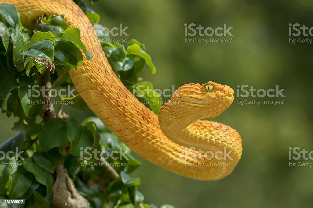 Female Venomous Bush Viper Snake - Orange Phase