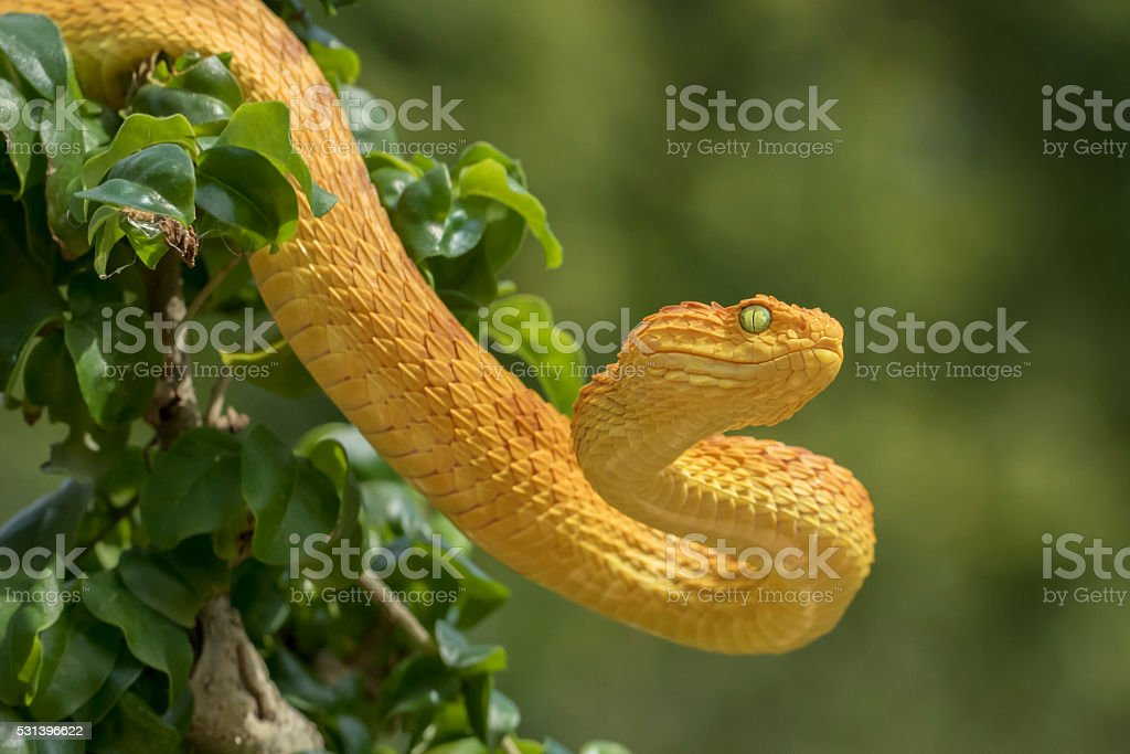 Venomous Bush Viper Snake - Orange Phase stock photo