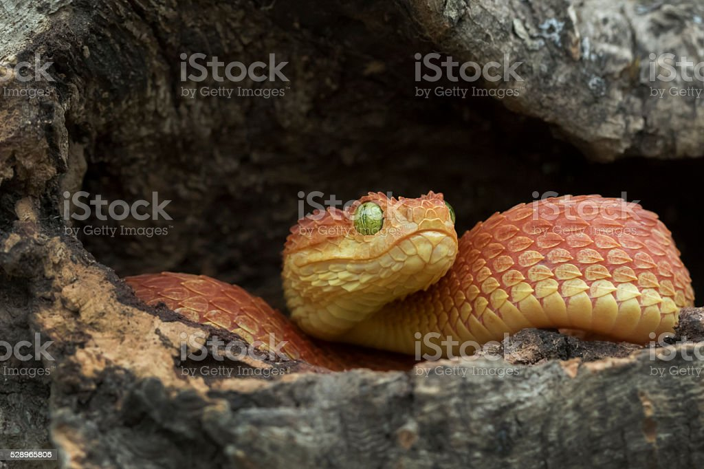 Venomous Bush Viper Snake - Red Phase stock photo