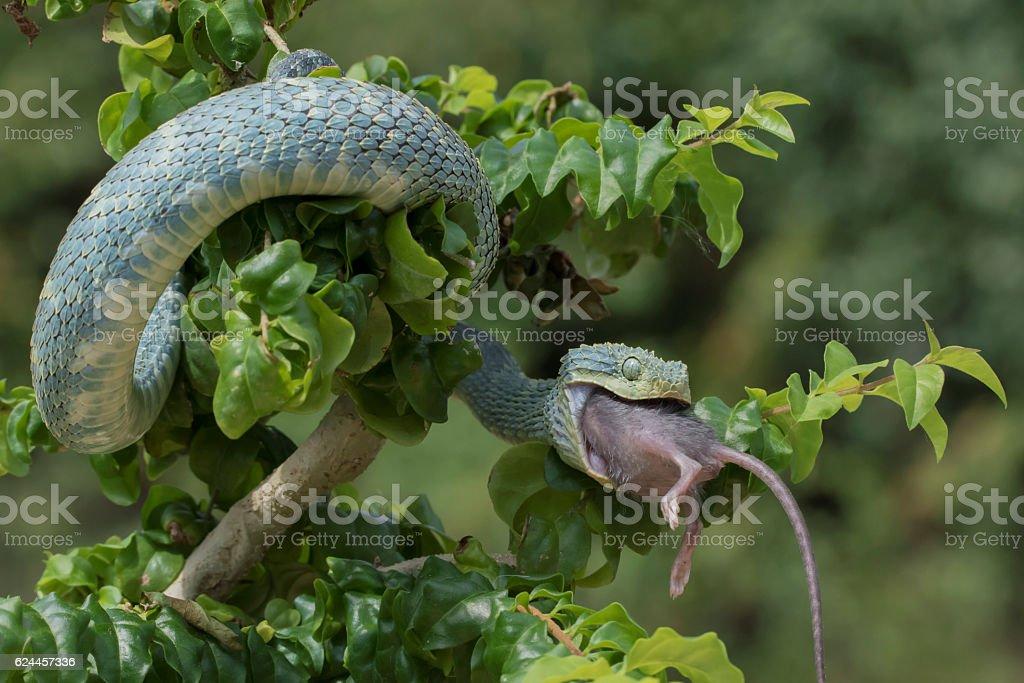 Venomous Bush Viper Snake Swallowing Rodent stock photo