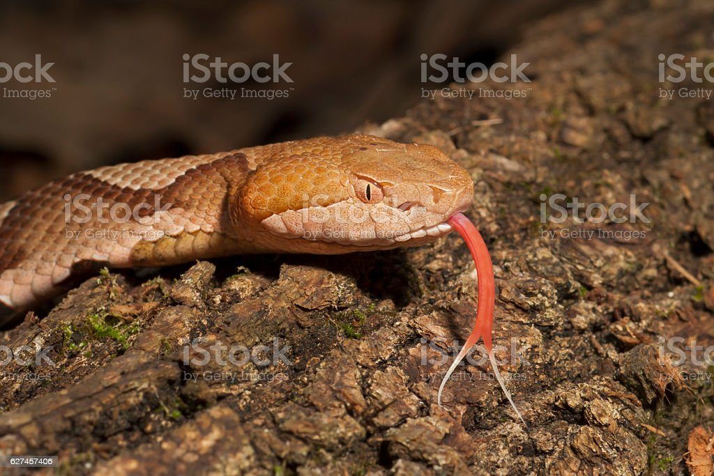Venomous Copperhead Snake with Forked Tongue stock photo