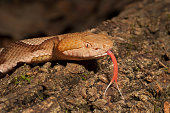 Venomous Copperhead Snake with Forked Tongue