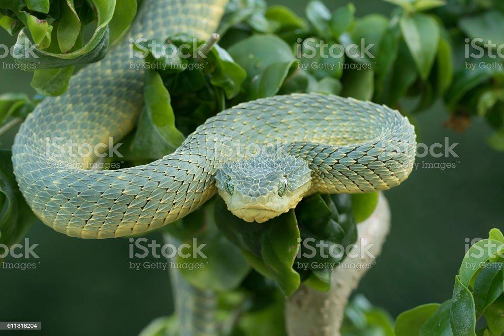 Venomous Green Bush Viper Snake Descending from Tree stock photo
