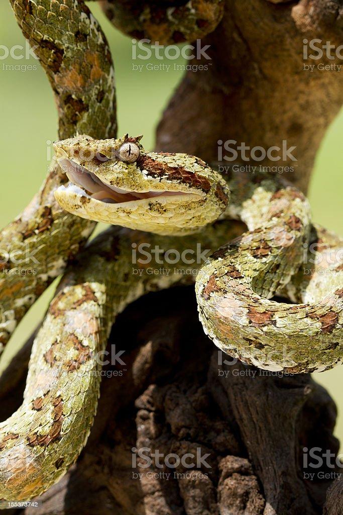 Venomous Green Eyelash Viper Snake stock photo