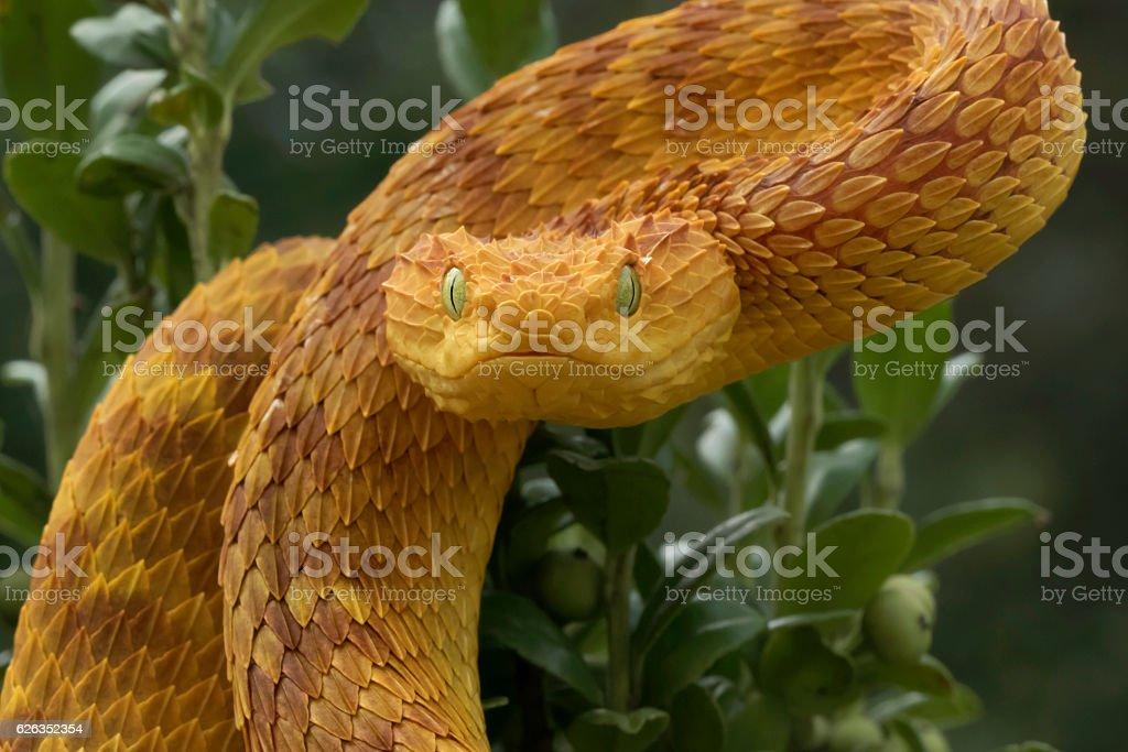 Venomous Orange Bush Viper Snake Ready to Strike stock photo