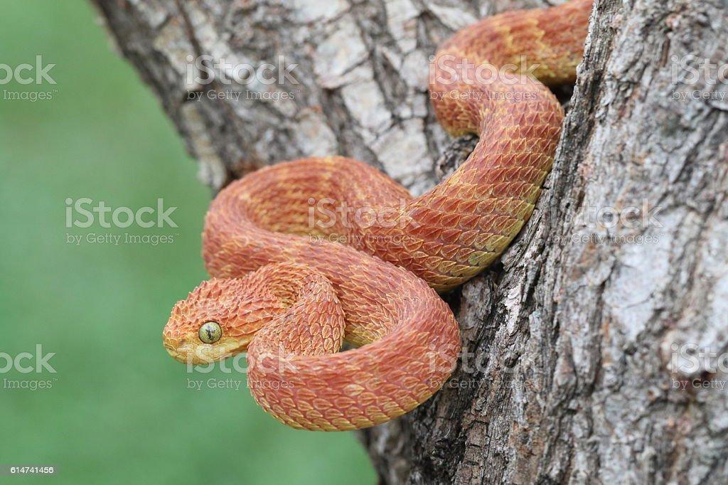 Venomous Red Bush Viper Snake Descending from Tree stock photo