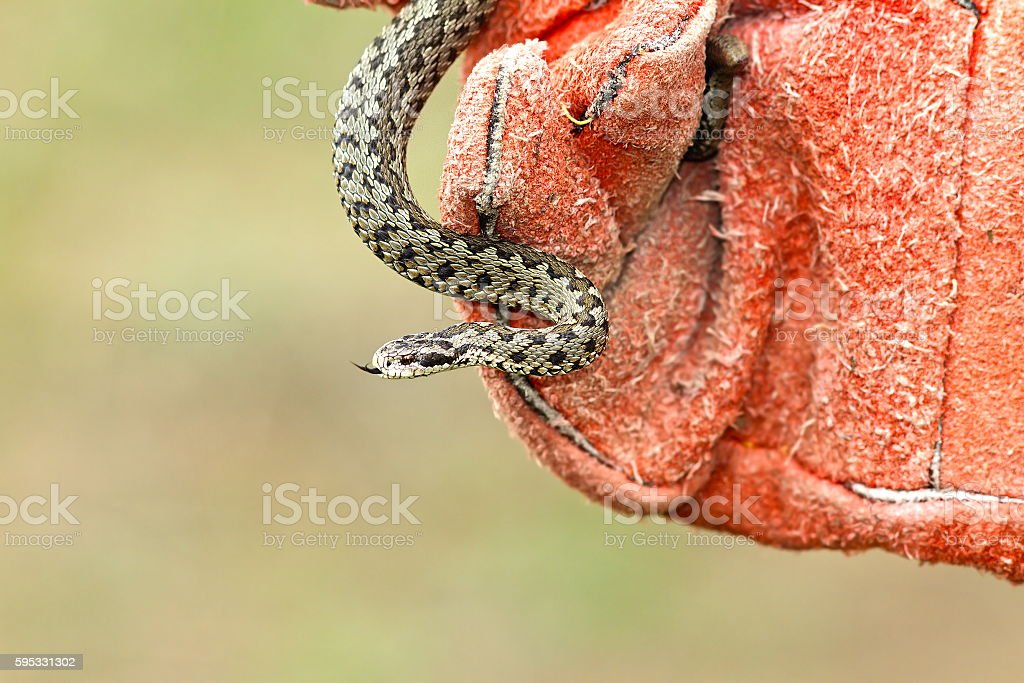 venomous snake in hand with glove stock photo