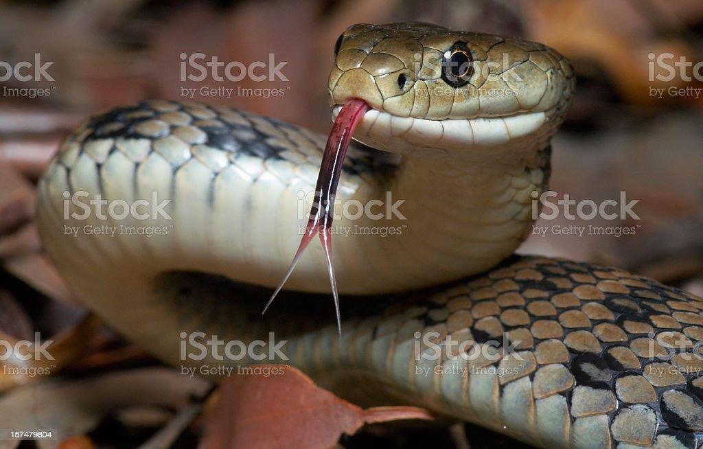 Venomous snake royalty-free stock photo