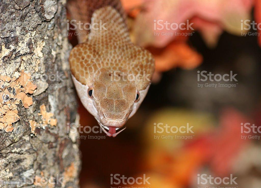 Serpiente Venomous con boca abierta foto de stock libre de derechos