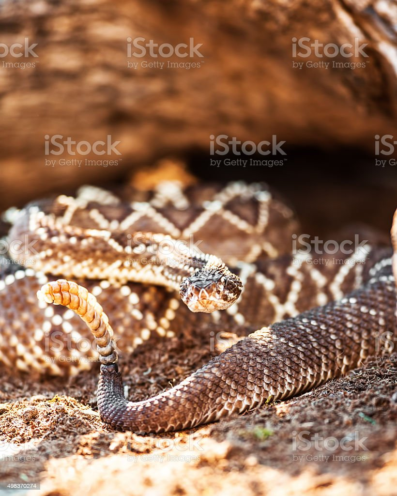 Venomous South American Rattlesnake On Sand stock photo