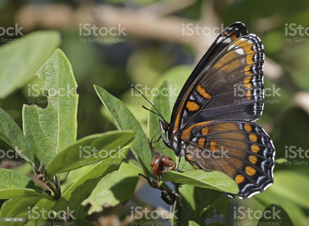 Ventral View of a Red-spotted Purple Butterfly royalty-free stock photo