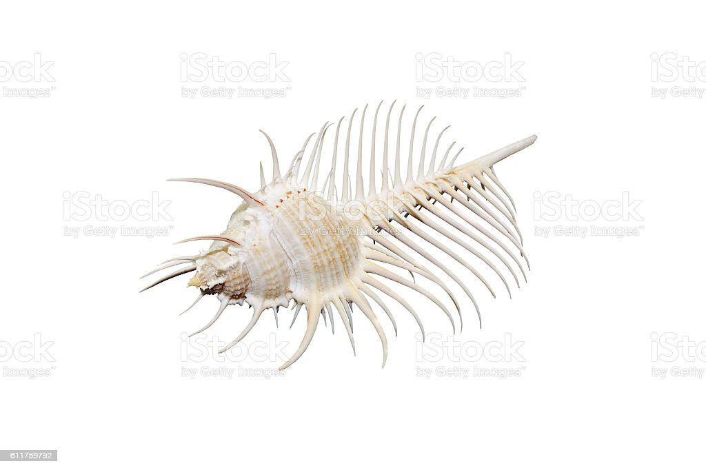 Venus Comb murex shell isolated on white stock photo