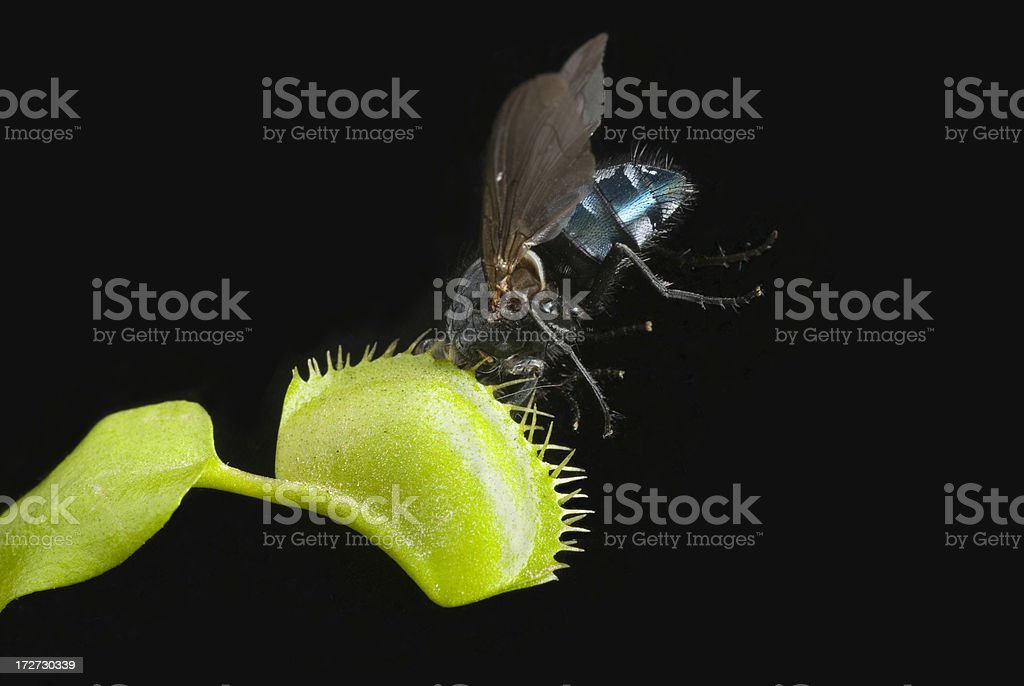 Venus Fly Trap royalty-free stock photo