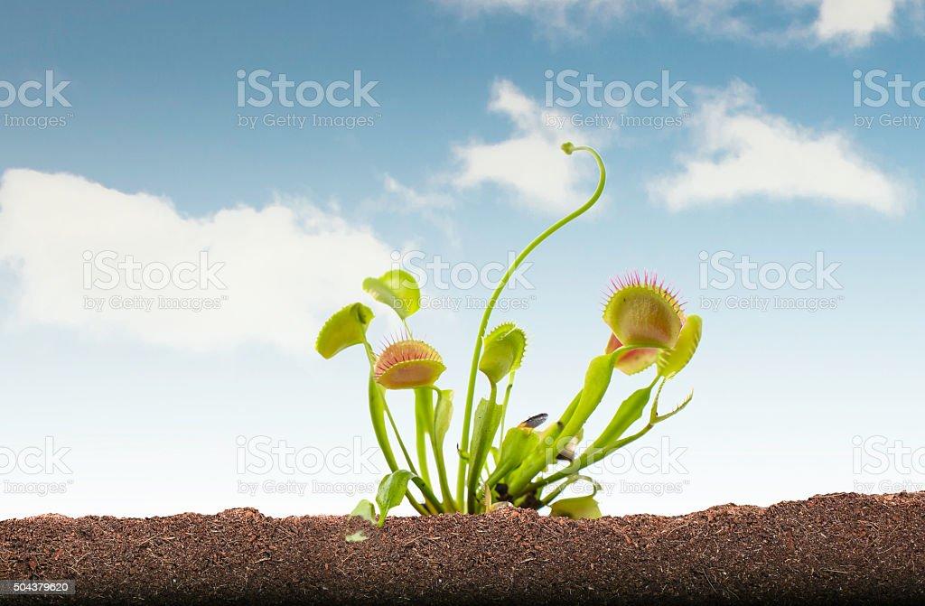 Venus Flytrap in soil and sky stock photo