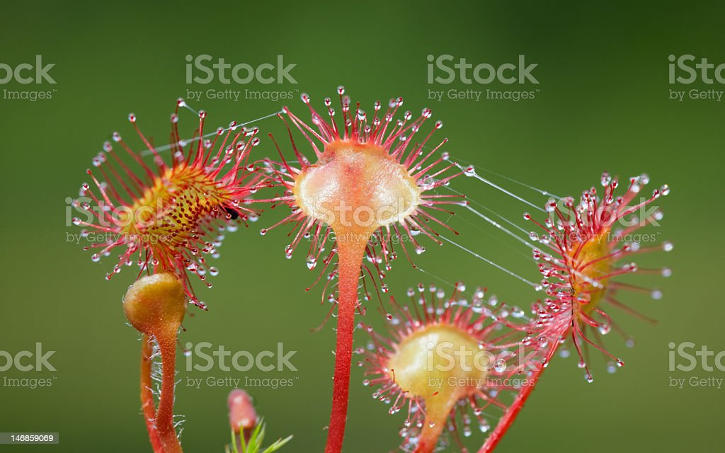 Venus flytraps with dew on top of them stock photo