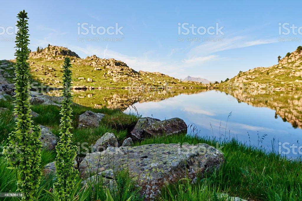 Verbascum alpinum Turra stock photo
