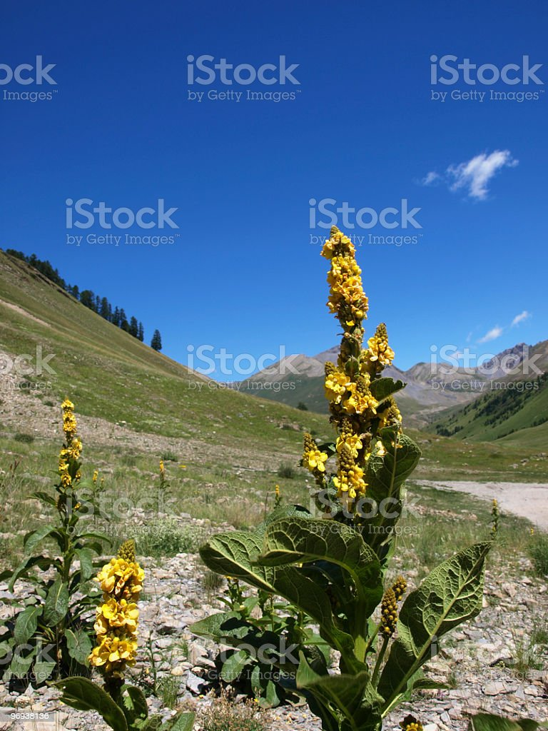 verbascum flowers in the French Alps stock photo