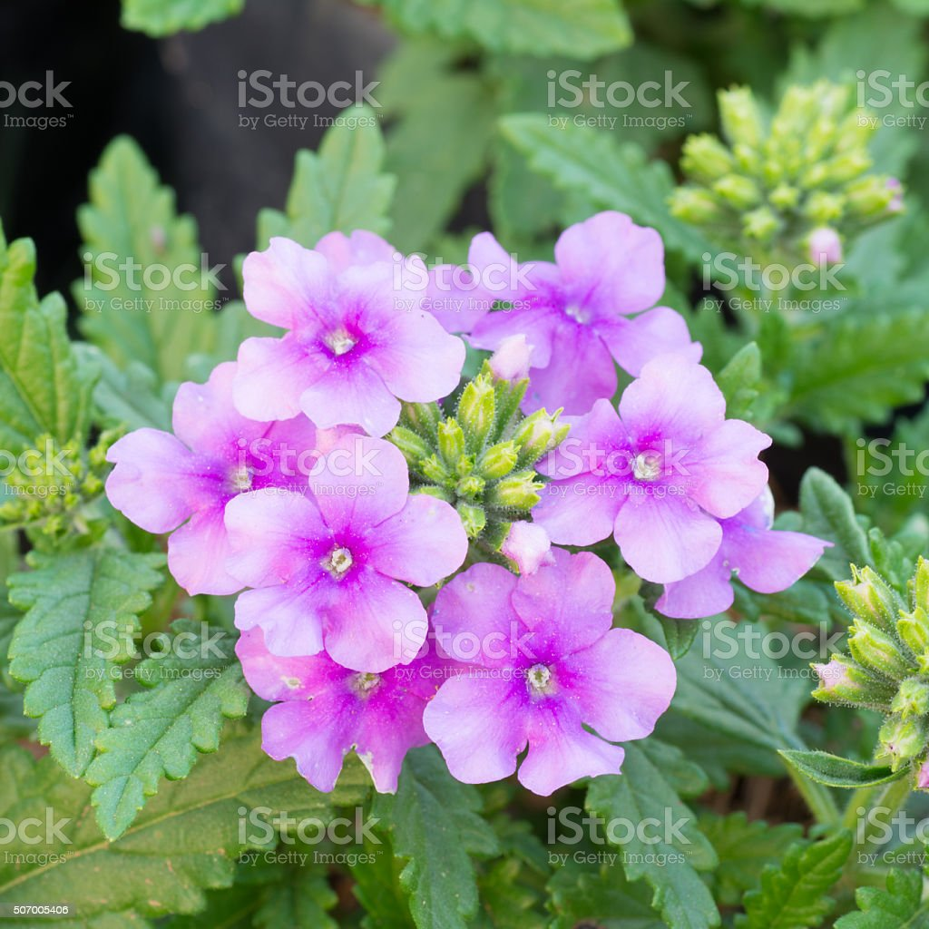 verbena (verbenas or vervains ) blooming in garden stock photo