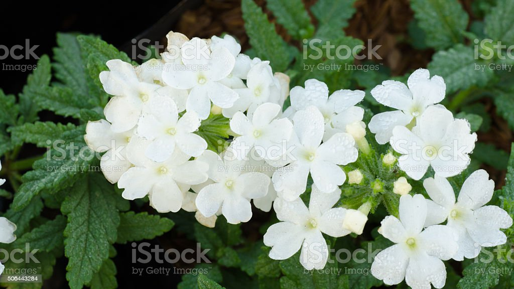 Verbena (verbenas or vervains ) blooming in the morning stock photo