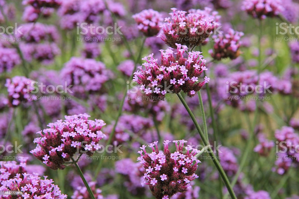 Verbena bonariensis flower stock photo