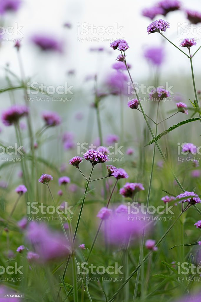 Verbena Bonariensis flowers. stock photo