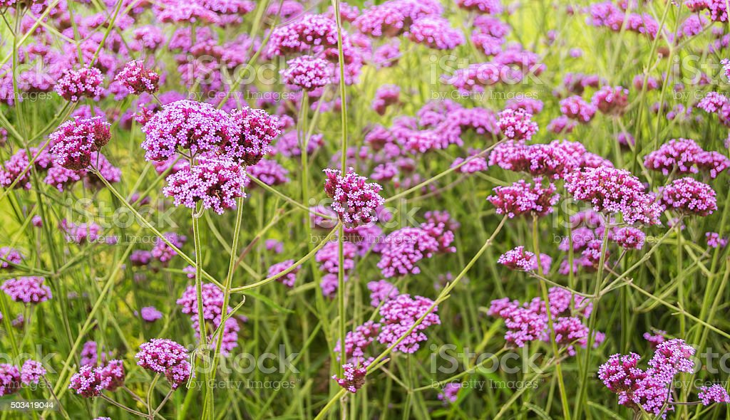 Verbena Bonariensis flowers stock photo
