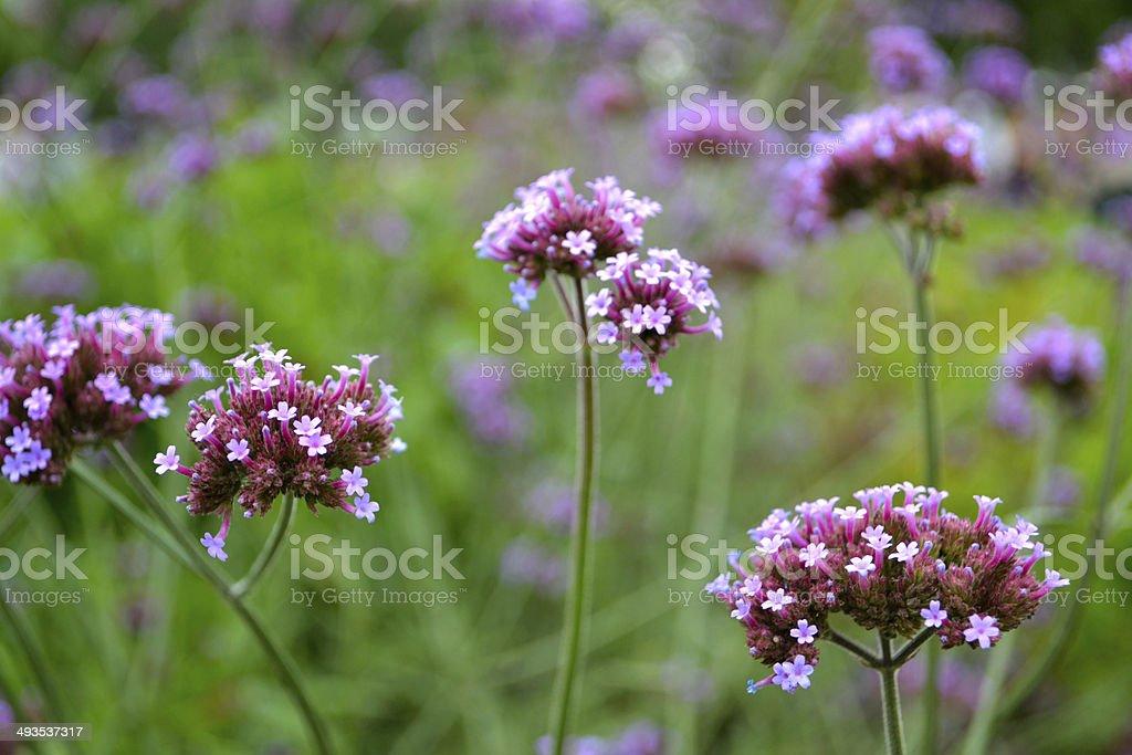 Verbena bonariensis foto de stock libre de derechos