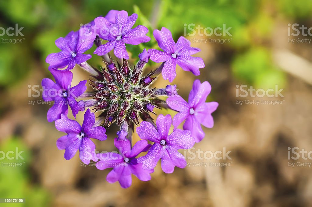 Verbena Canadensis (Homestead Purple) stock photo