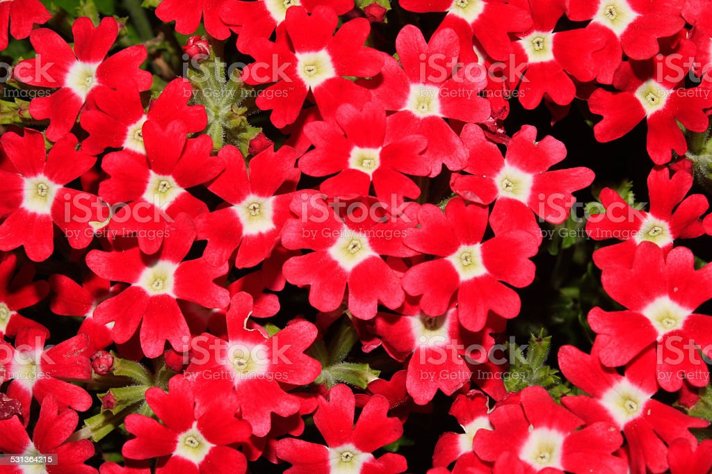 verbena flower stock photo