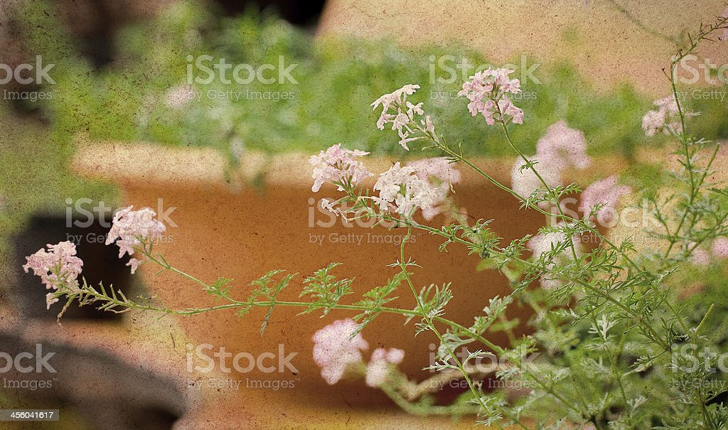 verbena flowers in pot royalty-free stock photo