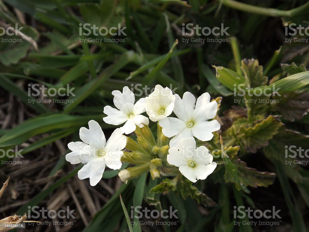 Verbena flowers wite stock photo