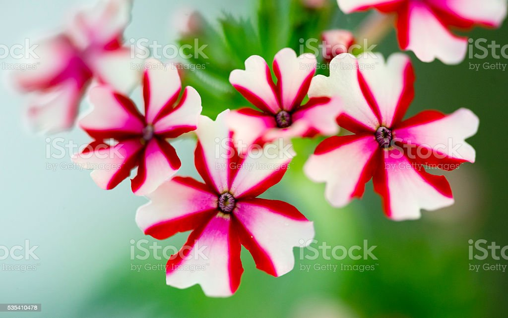 Verbena Hybrida stock photo