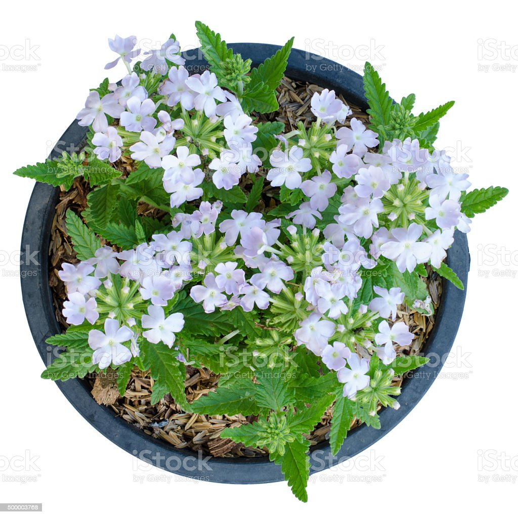 Verbena (verbenas or vervains ) stock photo