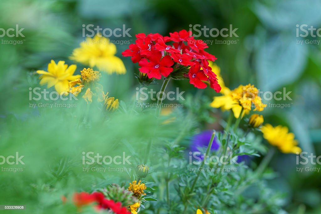 Verbena stock photo