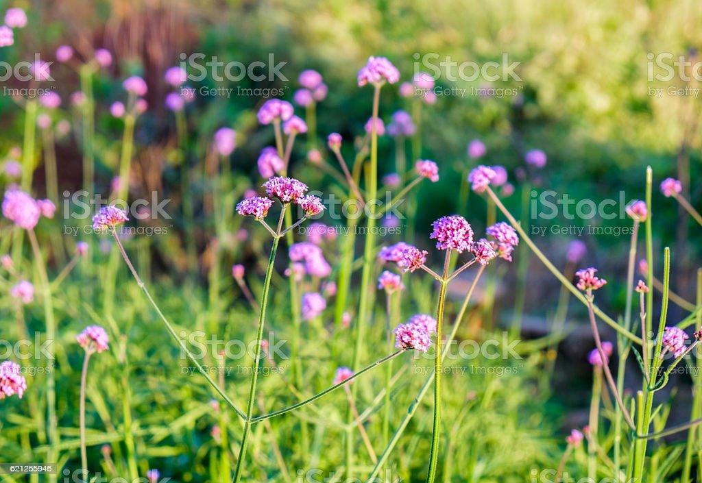 Verbena purple flower sunshine in garden stock photo