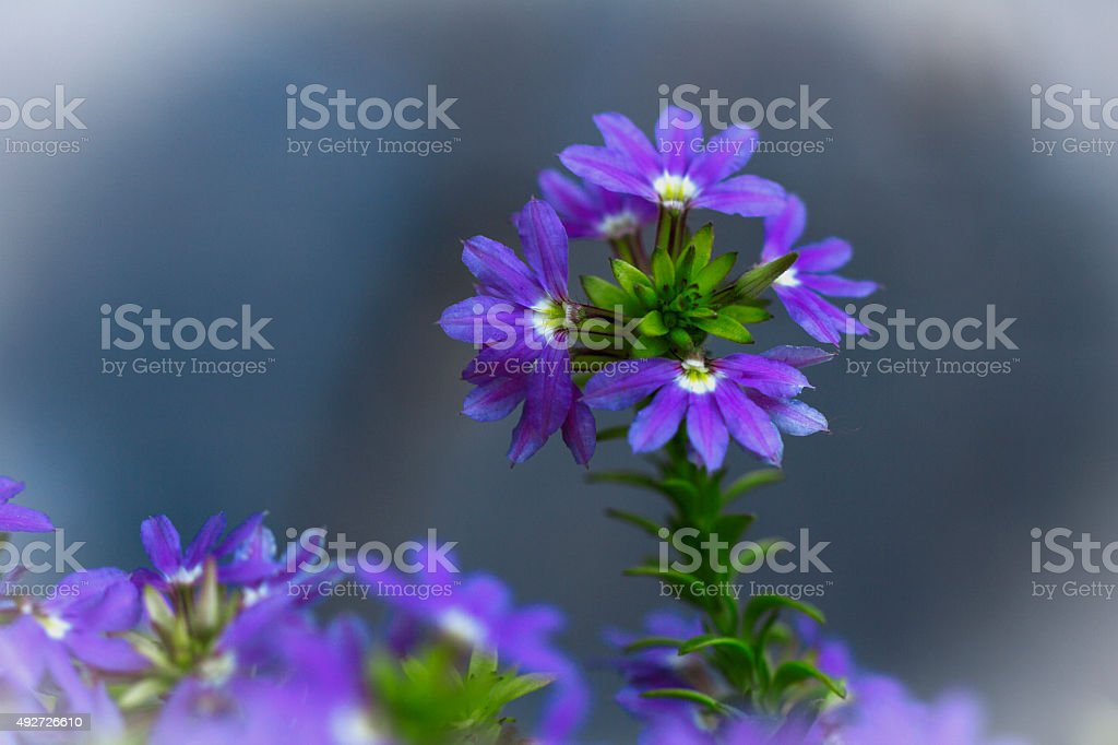 verbena, where enamel, wildflower , flowers, be healthy stock photo