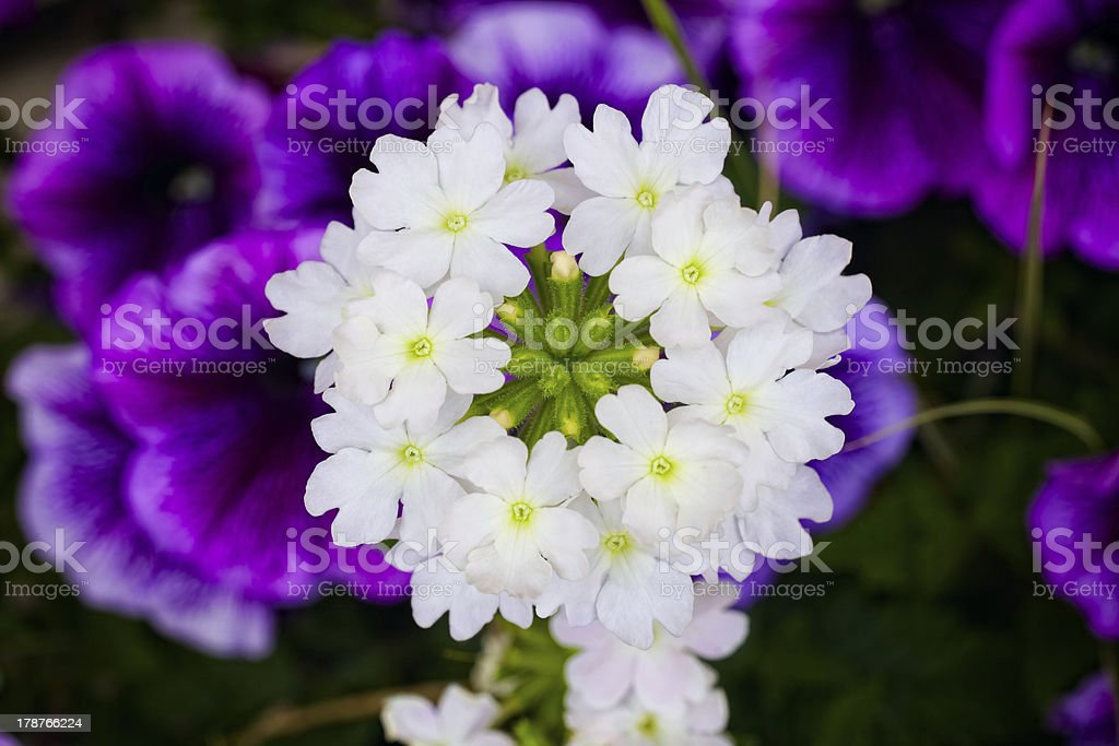 Verbena with Trailing Petunia Background stock photo