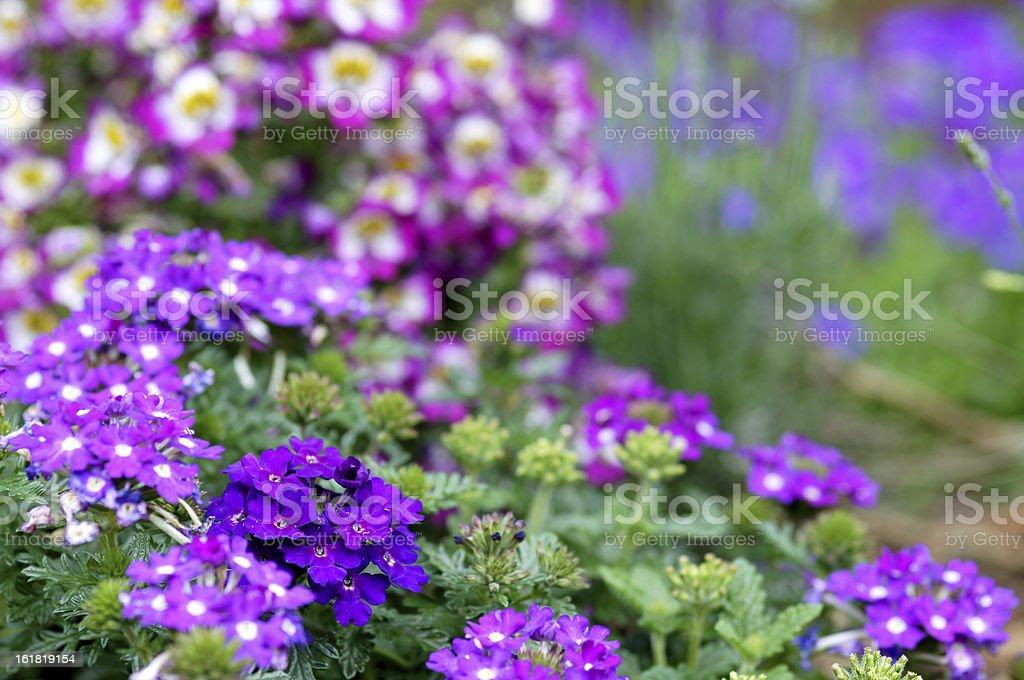 Verbena-Cultivars flowers stock photo