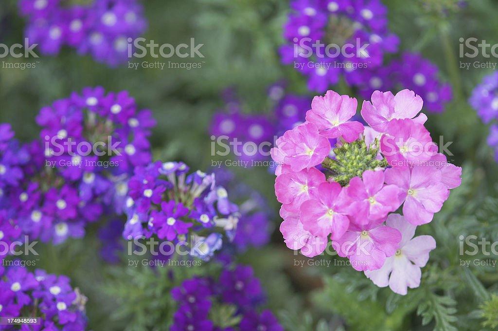 Verbena-Cultivars flowers royalty-free stock photo